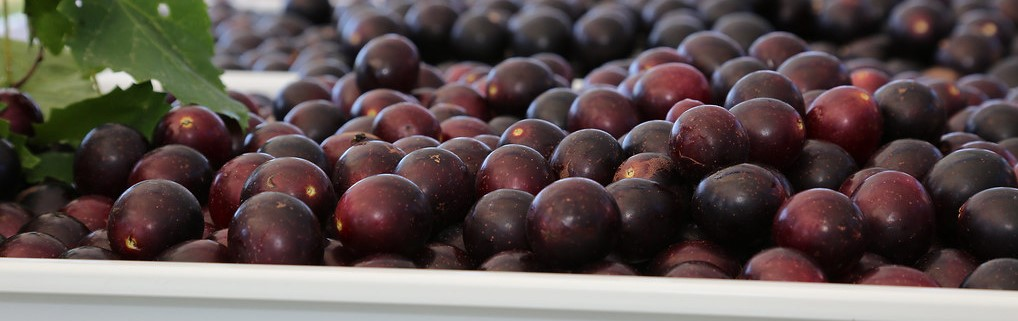 Mechanical Muscadine Harvest